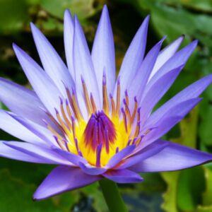 BLUE WATER LILY ABSOLUTE (น้ำมันหอมระเหยดอกบัวสายสีน้ำเงิน)