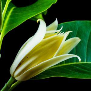 CHAMPEE FLOWER ABSOLUTE (น้ำมันหอมระเหยดอกจำปี)