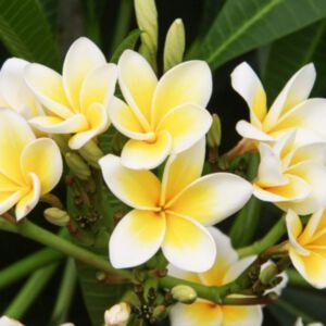 FRANGIPANI FLOWER ABSOLUTE (น้ำมันหอมระเหยดอกลีลาวดี)