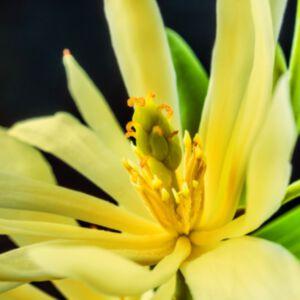 GOLDEN CHAMPAKA ABSOLUTE (น้ำมันหอมระเหยดอกจำปาสีทอง)