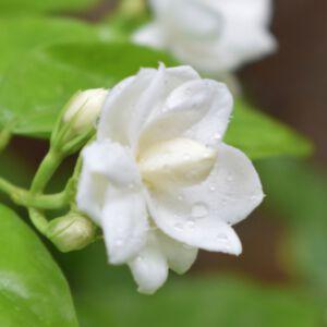 JASMINE GRANDIFLORUM ABSOLUTE (น้ำมันหอมระเหยดอกมะลิแกรนดิฟลอรัม)