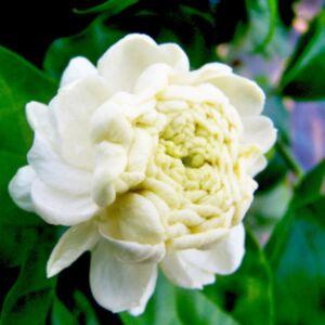 JASMINE SAMBAC ABSOLUTE (น้ำมันหอมระเหยดอกมะลิแซมแบค)