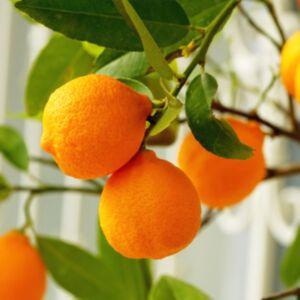 ORANGE SWEET ESSENTIAL OIL - ORGANIC USDA (น้ำมันหอมระเหยส้ม ออแกนิค)