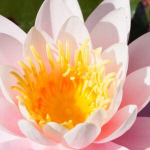 PINK WATER LILY ABSOLUTE (น้ำมันหอมระเหยดอกบัวสายสีชมพู)