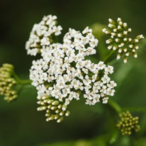 YARROW (BLUE) ESSENTIAL OIL