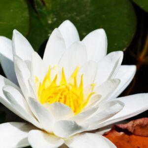 WHITE LOTUS ABSOLUTE (น้ำมันหอมระเหยดอกบัวหลวงสีขาว)