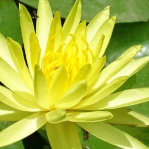 YELLOW WATER LILY ABSOLUTE (น้ำมันหอมระเหยดอกบัวสายสีเหลือง)