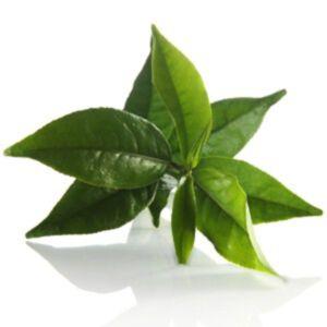 GREEN TEA EXTRACT – ORGANIC (สารสกัดชาเขียว ออแกนิค)