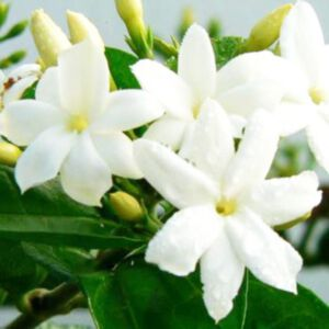 JASMINE GRANDIFLORUM ABSOLUTE (น้ำมันหอมระเหยดอกมะลิพันธุ์แกรนดิฟรอลัม)