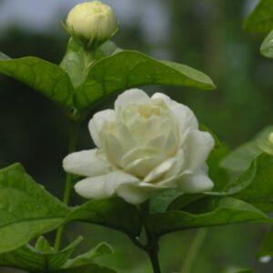 JASMINE SAMBAC ABSOLUTE (น้ำมันหอมระเหยดอกมะลิพันธุ์แซมแบค)