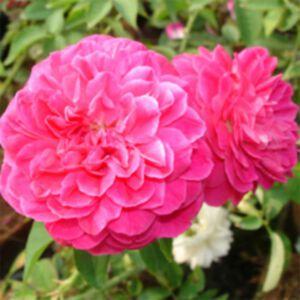 ROSE DAMASCENA PREMIUM ABSOLUTE (น้ำมันหอมระเหยดอกกุหลาบดามัสเซน่าพรีเมี่ยม)